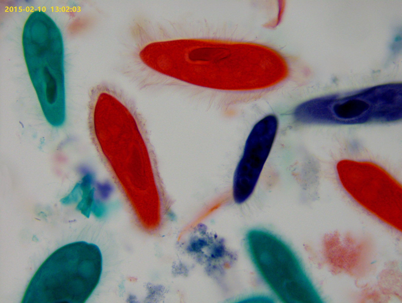 Paramecium (Whole Mount)